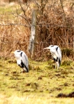 Herons at Wilden Marsh.