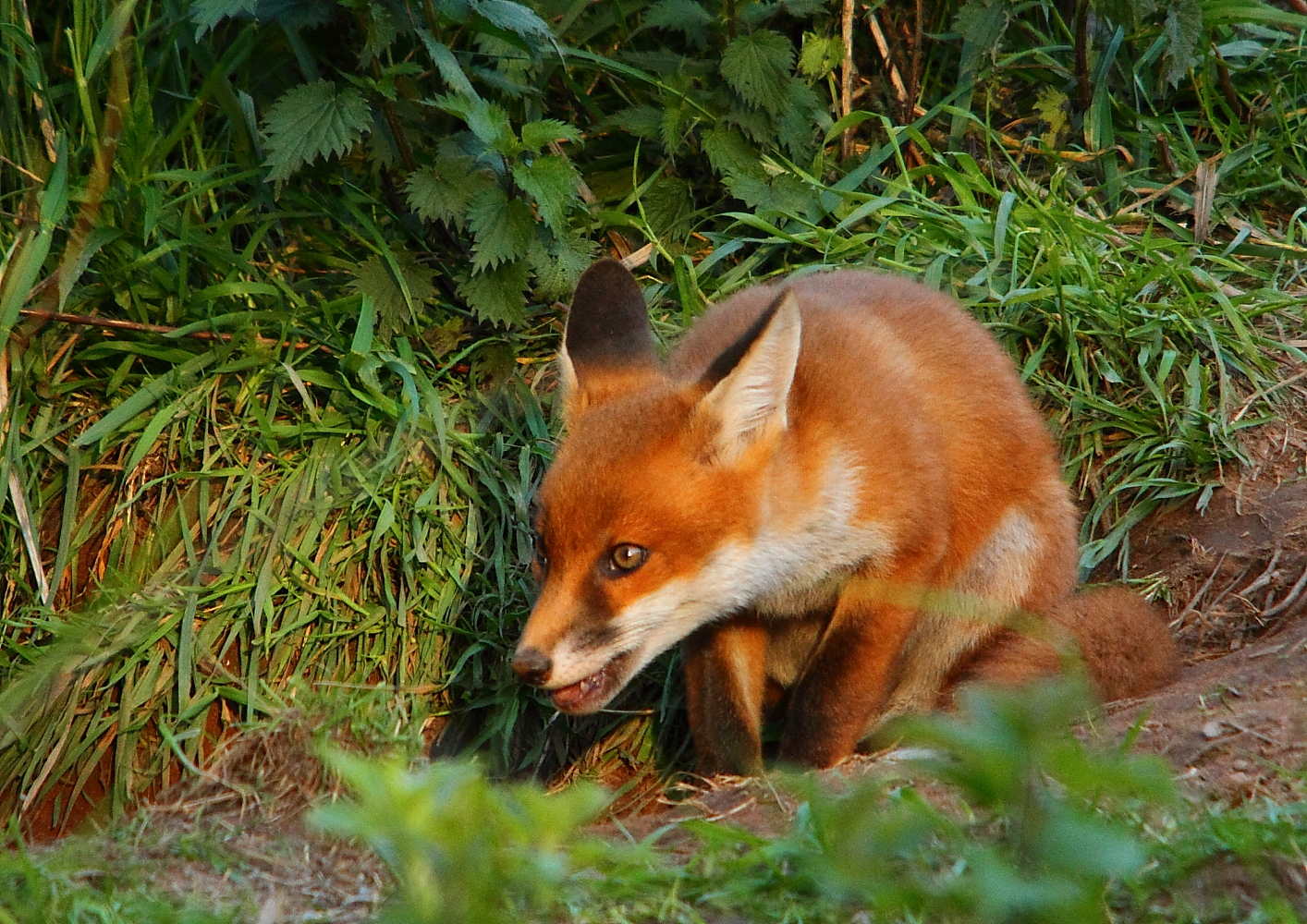 Go Back  gt  Images For  gt  Cute Fox CubsCute Fox Cubs