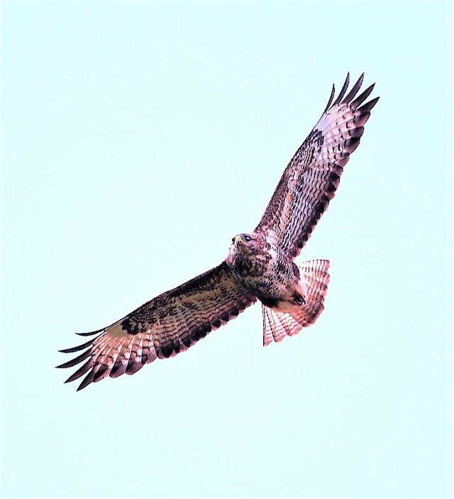 Buzzard 4TH FEBRUARY 2018