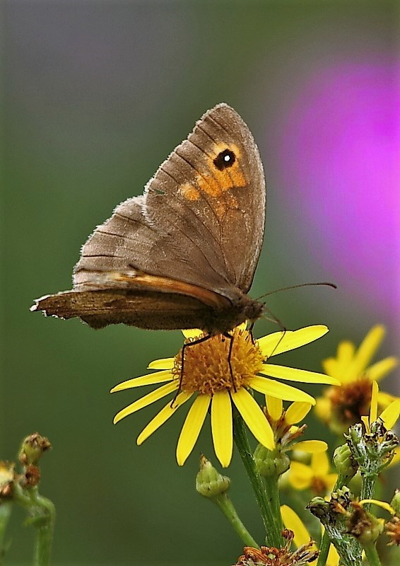 img_69723-meadow-brown