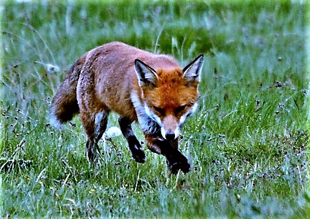 2011_05_04_9999_83foxes