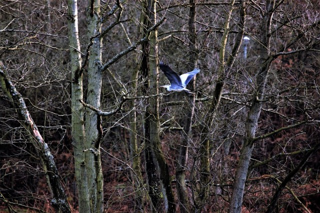 Heron flying through Hoo Wood