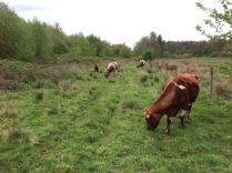 Cattle in Northern Corridor