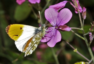Orange-tip on honesty