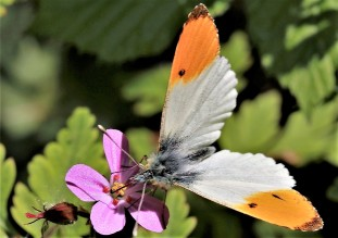 Orange-tip on herb Robert
