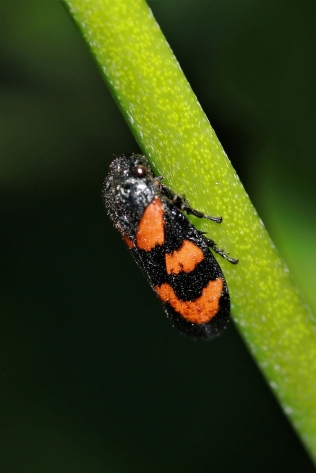 Red-and-black Froghopper (Cercopis vulnerate)