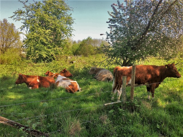 Some of the herd taking it easy in North Pond Pasture