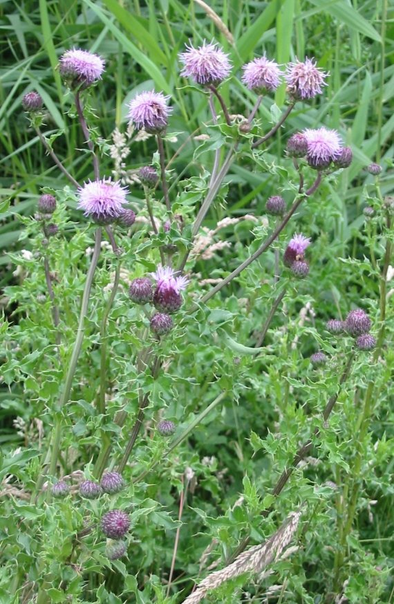 creepingthistle