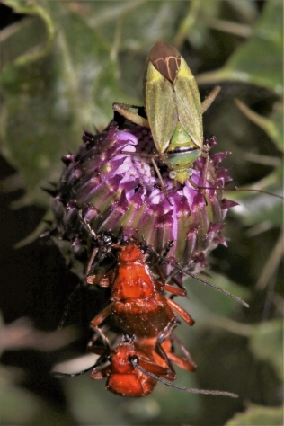 Capsid and soldier beetles on a nearby thistle