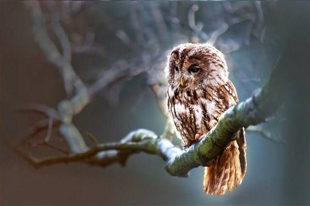 Little tawny owl on a branch
